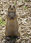 Rustic Scenes Photos - Prairie Dog eating Milk Bone by Melany Sarafis