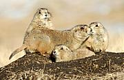Custer State Park Prints - Prairie Dog Family Portrait Print by Larry Ricker
