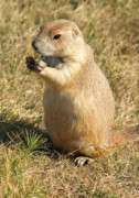 Prairie Dog Posters - Prairie Dog feeding on the meadows at the Devils Tower Poster by Alex Cassels