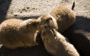 Prairie Dog Metal Prints - Prairie Dog Gossip Session Metal Print by Trish Tritz