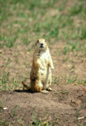 Prairie Dog Photos - Prairie Dog by John Burk