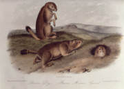 Dogs Drawings Posters - Prairie Dog Poster by John James Audubon