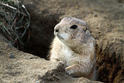 Prairie Dog Framed Prints - Prairie Dog Lookout Framed Print by Karol  Livote