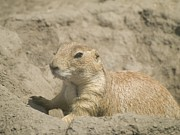 Sahara Sunlight Prints - Prairie Dog Print by Odon Czintos