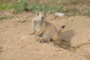 Prairie Dog Originals - Prairie dog by Paul McCarthy