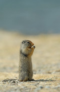 Prairie Photo Framed Prints - Prairie Dog Framed Print by Sebastian Musial
