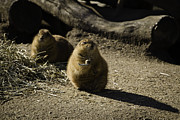 Prairie Dog Metal Prints - Prairie Dog Sees The Shadow Metal Print by Trish Tritz