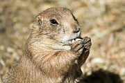 Prairie Dog Photos - Prairie Dog by Teresa Zieba