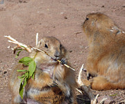 Prairie Dogs Print by Methune Hively