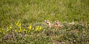 Prairie Dogs Posters - Prairie Dogs on Lookout Poster by Chad Davis