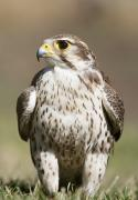 Avian Posters - Prairie Falcon Perches On The Ground Poster by David Ponton