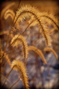 Prairie Grass Originals - Prairie Grass Detail by Steve Gadomski