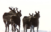 Moose Digital Art Metal Prints - Prairie Moose Saskatchewan Metal Print by Mark Duffy