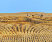 Pronghorn Photos - Prairie Pronghorns by Tony Beck