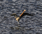 Florida Wildlife Photography Posters - Prancing Heron Poster by David Lee Thompson