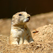 Buzz Tail Prints - Prarie Dog Bee Alert Print by LeeAnn McLaneGoetz McLaneGoetzStudioLLCcom