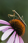 Camo Posters - Praying Mantis and Coneflower - D008024 Poster by Daniel Dempster