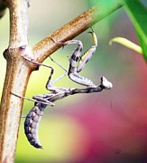 Praying Photo Originals - Praying Mantis by Ang Tribu Bagobo Woodlands