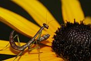 Mantis Photos - Praying Mantis by Deepak Kumar