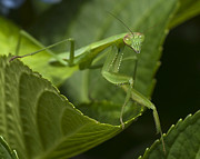 Jane Brack Art - Praying Mantis by Jane Brack