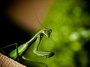 Praying Mantis Framed Prints - Praying Mantis Framed Print by Jim DeLillo