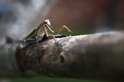 Lisa Sorrell Prints - Praying Mantis Print by Lisa Sorrell