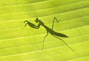 Silhouetted Metal Prints - Praying Mantis Metal Print by Richard Garvey-Williams