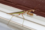 Creepy Pyrography Metal Prints - Praying Mantis Metal Print by Shirley Tinkham