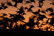 Snow Geese Posters - Pre-Dawn Flight Of Snow Geese Flock Poster by Max Allen