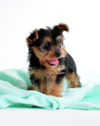 Yorkie Prints - Precious Print by Betty LaRue