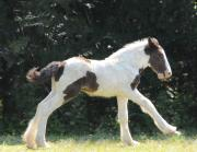 Drum Horse Photos - Precious Drum Foal Angel by Terry Kirkland Cook