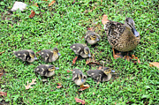 Mallards Photos - Precious Seven by Jan Amiss Photography