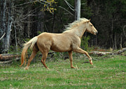 Theria Framed Prints - Precious The Palomino Running  - c0519c Framed Print by Paul Lyndon Phillips