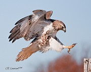 Red Tail Hawk Art - Precision Landing by CR  Courson
