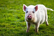 Livestock Photo Metal Prints - Precocious Piglet Metal Print by Justin Albrecht