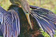 Anhinga Framed Prints - Preen Clean Framed Print by Deborah Benoit