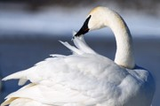 Trumpeter Swan Framed Prints - Preening Framed Print by Larry Ricker