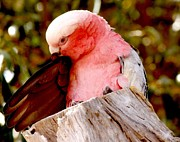 Galah Cockatoo Prints - Preening Print by Lillian Robinson