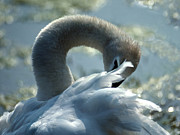 Swan Art Prints - Preening Swan Print by Skip Willits