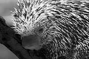 Prehensile-tailed Porcupine Prints - Prehensile Tailed Porcupine Print by Jared Theberge