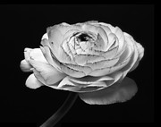 Horizontal Mixed Media Posters - Prelude - Black and White Roses Macro Flowers Fine Art Photography Poster by Artecco Fine Art Photography - Photograph by Nadja Drieling
