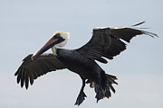 Pelican Landing Prints - Prepare For Landing - Brown Pelican Print by Christiane Schulze