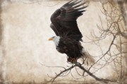 Eagle Mixed Media Metal Prints - Preparing for Take Off Metal Print by Reflective Moments  Photography and Digital Art Images