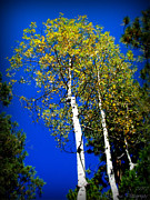 Prescott Prints - Prescott Fall Aspen Canopies Print by Aaron Burrows