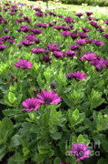 Prescott Park - Portsmouth New Hampshire Osteospermum Flowers Print by Erin Paul Donovan