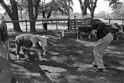 Candid Portraits Prints - President Lyndon Johnson Roping Calves Print by Everett