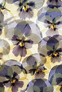 Tom Biegalski Acrylic Prints - Pressed Pansy flower background Acrylic Print by Tom Biegalski
