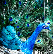 Peacock Photos - Pretty as a Peacock by Colleen Kammerer