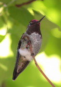 Ruby-throated Hummingbird Photos - Pretty Bird by Carol Groenen