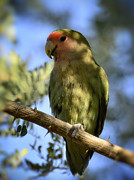 Lovebird Photos - Pretty Bird by Saija  Lehtonen